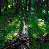 Fallen trees are a common sight in Perucica forest